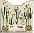 Etude de la plante - p.13 fig.11 - Perce-neige.jpg