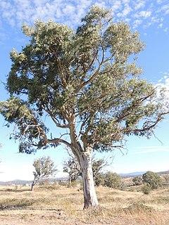 <i>Eucalyptus blakelyi</i> Species of eucalyptus