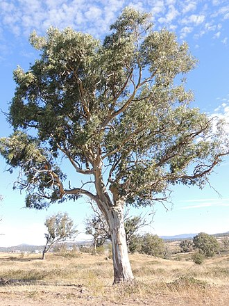 Eucalyptus blakelyi - Eucalyptus blakelyi growing in the A.C.T.