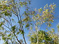 Eucalyptus camaldulensis.JPG