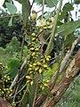 Eucalyptus camaldulensis 03.JPG