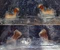 Eucteniza panchovillai and Eucteniza rosalia female holotypes.jpg