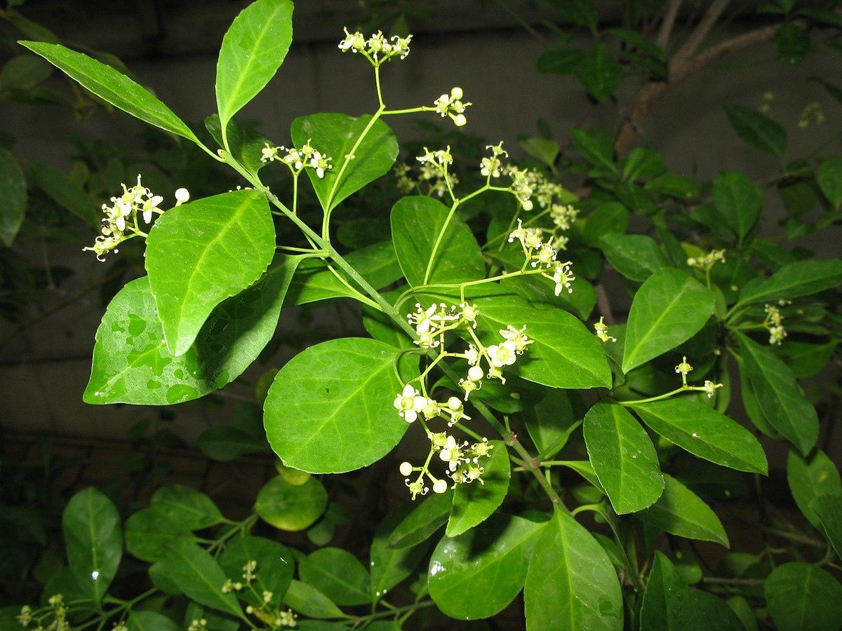 Pdf Magazine Download >> Euonymus boninensis - Wikispecies