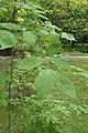 Euonymus sachalinensis kz07.jpg
