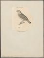 Euphonia viridis - 1700-1880 - Print - Iconographia Zoologica - Special Collections University of Amsterdam - UBA01 IZ15900433.tif