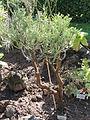 Euphorbia aphylla - Botanischer Garten, Frankfurt am Main - DSC02366.JPG