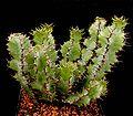 Euphorbia barnardii ies.jpg