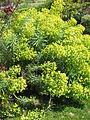 Euphorbia characias01.jpg