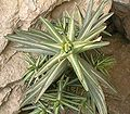 Euphorbia lathyris ies.jpg