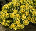 Euphorbia myrsinites7 ies.jpg