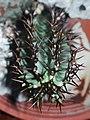 Euphorbia sp. 大戟屬植物 - panoramio (2).jpg