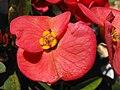 EuphorbiamiliiPC.jpg