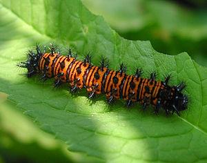 Baltimore checkerspot - Image: Euphydryas phaeton larva