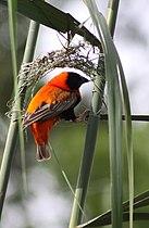 Euplectes orix -Pretoria, South Africa -male weaving nest-8 (1)