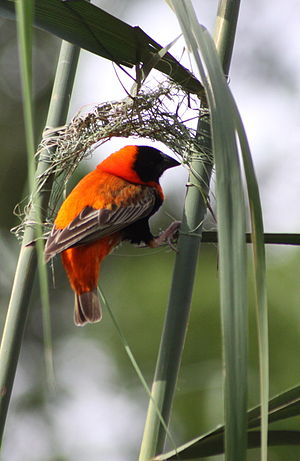 Southern red bishop - Male weaving a nest in Pretoria, South Africa