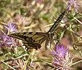 European Swallowtail. Papilio machaon ssp gorganus - Flickr - gailhampshire (1).jpg