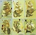 Euthema hesoana holotype Fig4.jpg