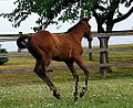 Exceed And Excel-Ffestiniog colt foal (9329015731).jpg
