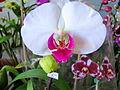 Exposição de orquídeas, Guaíba 2013 076.JPG