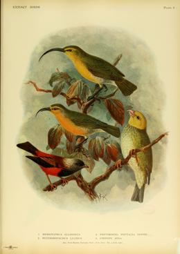 Extinctbirds1907 P4 Hemignathus ellisianus0287