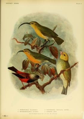 Annakleidervogel, unten