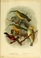 Extinctbirds1907 P4 Hemignathus ellisianus0287.png