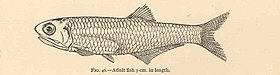 FMIB 40005 Anchovia mitchilli- Adult fish 7 cm in length.jpeg