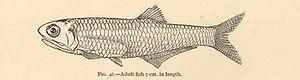Anchoa mitchilli - Image: FMIB 40005 Anchovia mitchilli Adult fish 7 cm in length