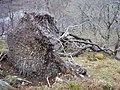 Fallen Tree - geograph.org.uk - 364634.jpg