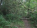 Fallen Tree on Tunbridge Wells Circular - geograph.org.uk - 1410261.jpg