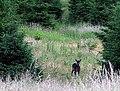 Fallow Deer, Sherwood Pines - geograph.org.uk - 64004.jpg
