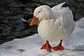 Fat duck (2256637212).jpg