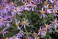 Felicia brevifolia Rebelo 1.jpg