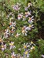 Felicia filifolia Gifberg 02.jpg