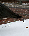 Female Hen Grazing in Snow, Boston MA, December 2012.jpg