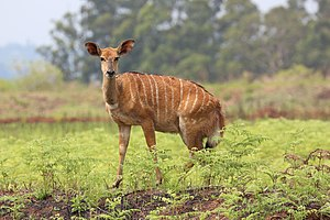 Female Nyala, Mlilwane Wildlife Sanctuary.jpg