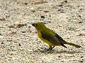 Female Scarlet Tanager (7467759938).jpg