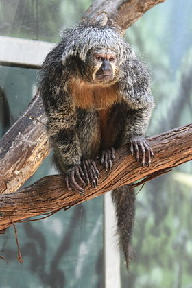 Female White faced saki (Pithecia pithecia).jpg