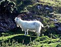 Feral Kashmiri goat grazing rough vegetation on the Great Orme, Llandudno - geograph.org.uk - 352800.jpg