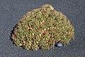 Ferocactus robustus 001.JPG