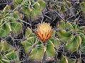 Ferocactusrobustusflower.jpg