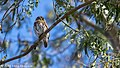 Ferruginous Pygmy Owl, Costa Rica, January 2018 (40246260524).jpg