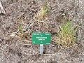 Festucopsis sancta - Copenhagen Botanical Garden - DSC07683.JPG