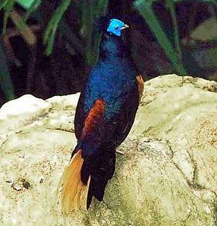 Crested fireback species of bird
