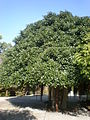 Ficus rubiginosa 2c.JPG