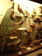 Oiseaux Galliformes, Field Museum, Chicago