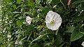 Field Bindweed (Convolvulus arvensis) - Guelph, Ontario 2013-07-10 (01).jpg