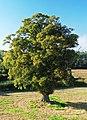 Field Tree, Cross Houses (cropped).jpg