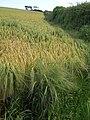 Field of barley near Sherford Cross (2) - geograph.org.uk - 1363603.jpg