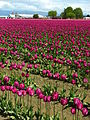 Field of purple tulips.jpg